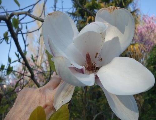 Floraison du Magnolia