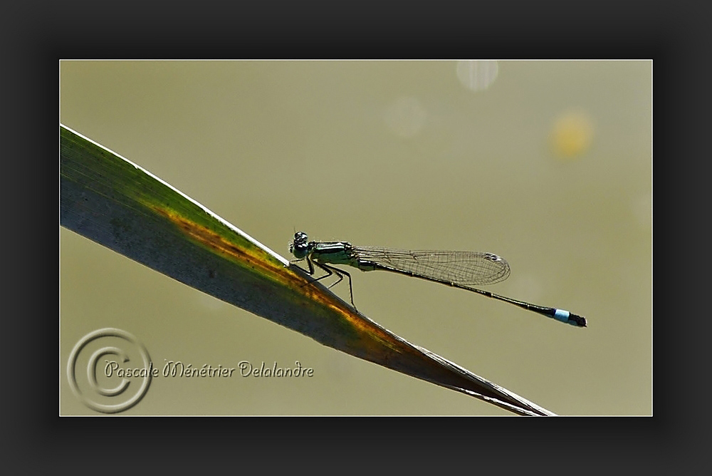 Agrion élégant mâle (Ischnura elegans)