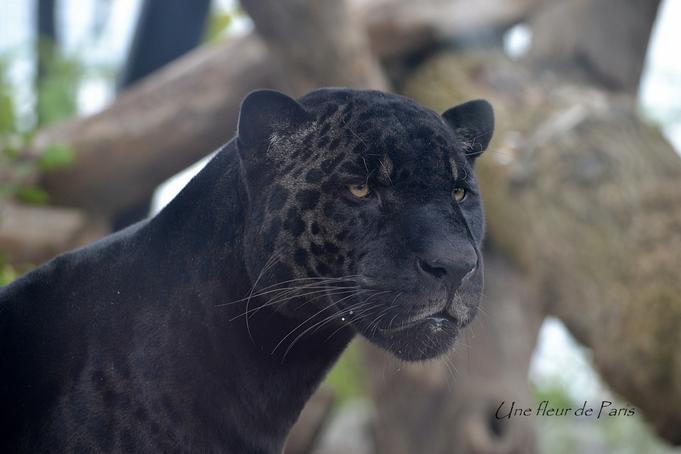 Parc Zoologique de Paris : Aramis, le jaguar (noir)