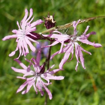 Silène fleur de coucou