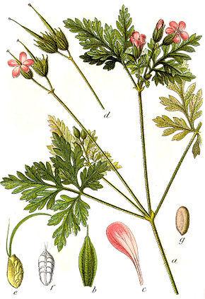 Description de l'image Geranium robertianum Sturm7.jpg.