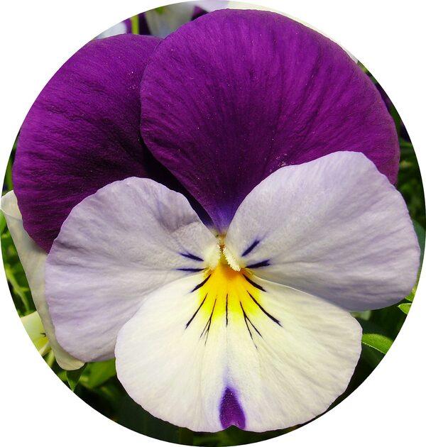 Pensées, une des rares fleurs de saison.