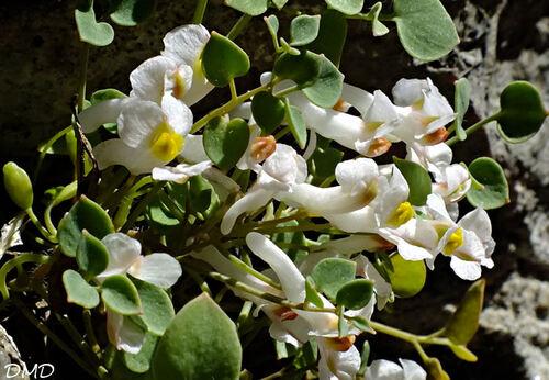 Sarcocapnos enneaphylla  -  fumeterre à neuf feuilles
