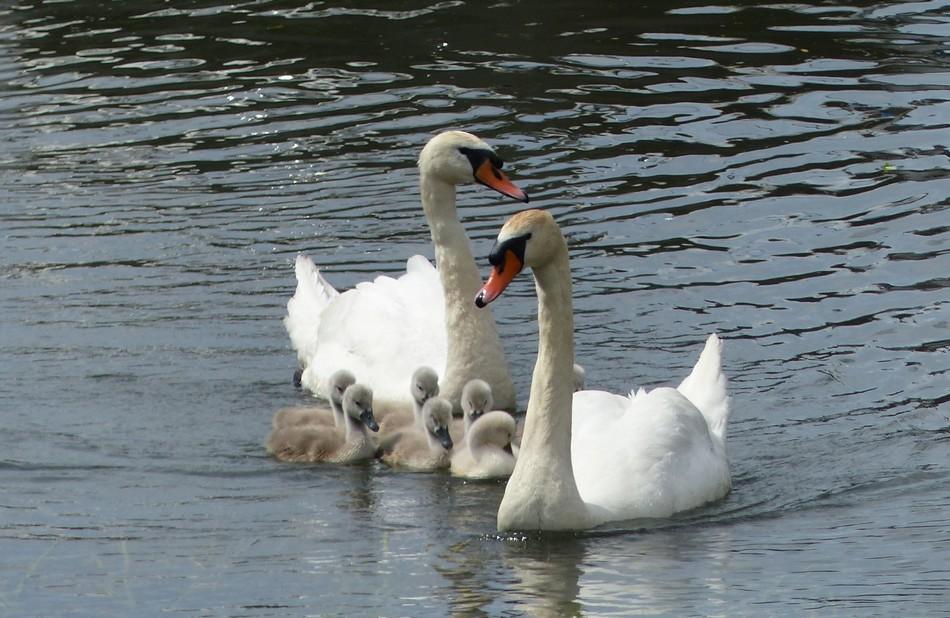 Monsieur et madame Cygne nous présentent leurs petits