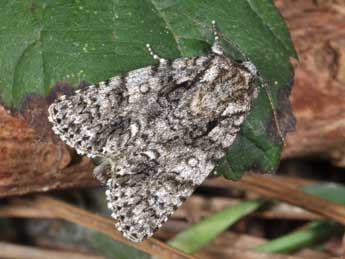 Acronicta rumicis L. adulte - ©Philippe Mothiron