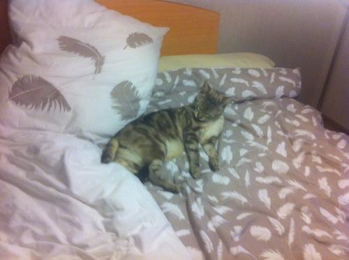 Simba, chat perdu du côté de LIDL depuis une semaine