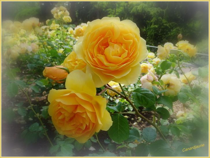 Louange aux roses de mai