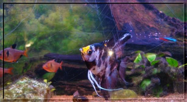 Le Chef des poissons...