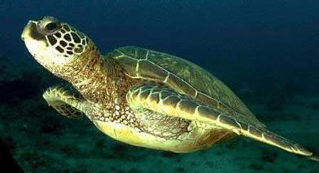 Les tortues de mer en danger