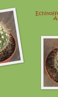 Echinofossulocactus Albatus