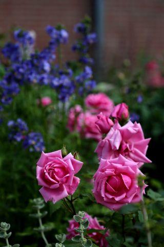 Les Roses de Warren : Widgee Didgee
