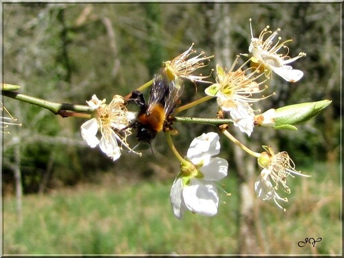 Andrena thoracica.