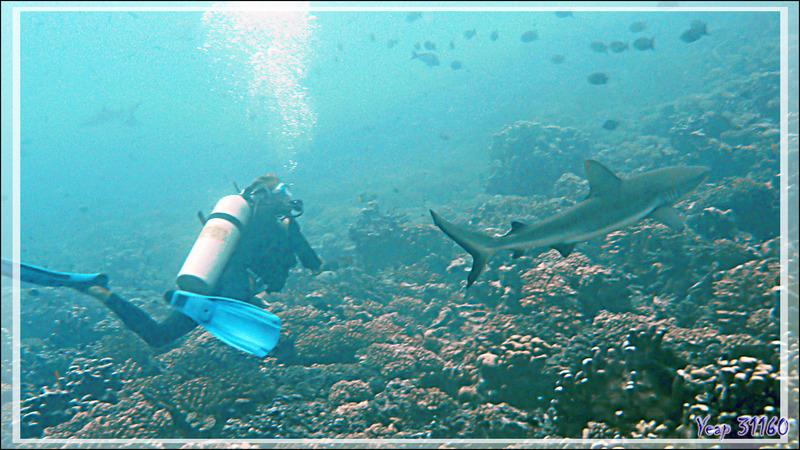 Un requin gris va attaquer un plongeur {;-)] - Tumakohua (passe sud) - Atoll de Fakarava - Tuamotu - Polynésie française