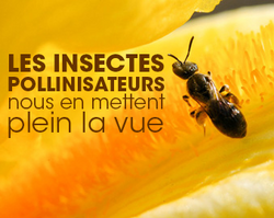 Insectes pollinisateurs