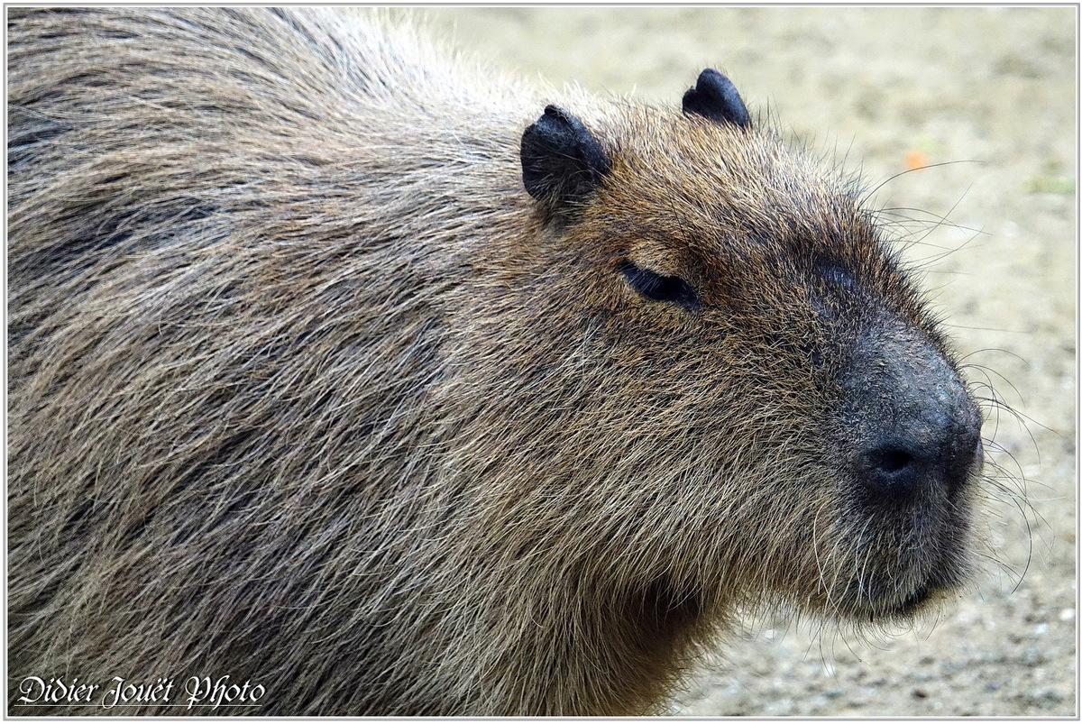 Capybara (1) - Hydrochoerus hydrochaeris