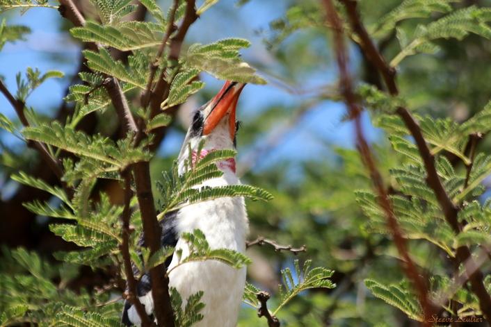Oiseaux du Sérengeti