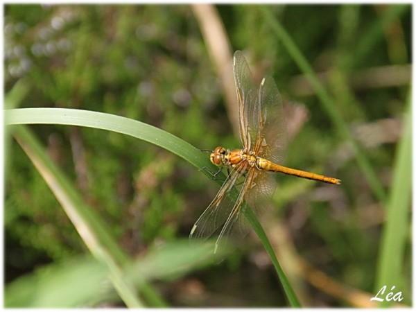 Insectes-2-9370-Sympetrum-jaune-d-or-femelle.jpg