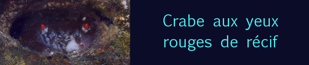 crabe aux yeux rouges de récif