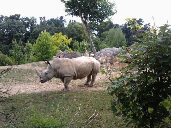 Rhinoceros-blanc.jpg