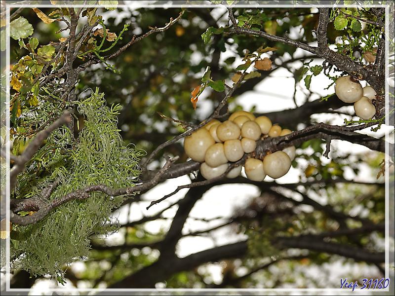 "Champignon ""Pan del indio"" (Cyttaria darwinii ou Cyttaria hariotii, deux espèces très proches) - Lac Acigami - Lapataia - Terre de Feu - Argentine"