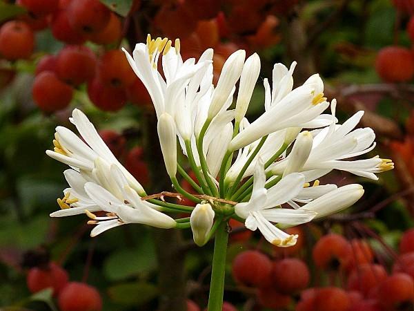 Agapanthe blanc sur pommes ornement2