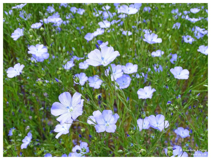 Fleur de LIN - 2016