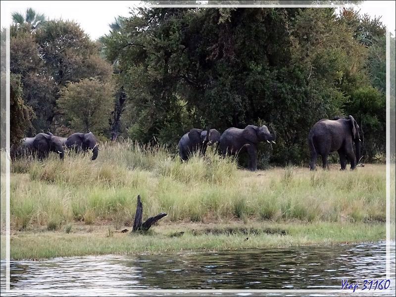 Il fait très sombre, on attend l'arrivée d'hypothétiques éléphants. Mais bientôt, ils émergent du noir de la forêt ! - Fleuve Zambèze - Zimbabwe
