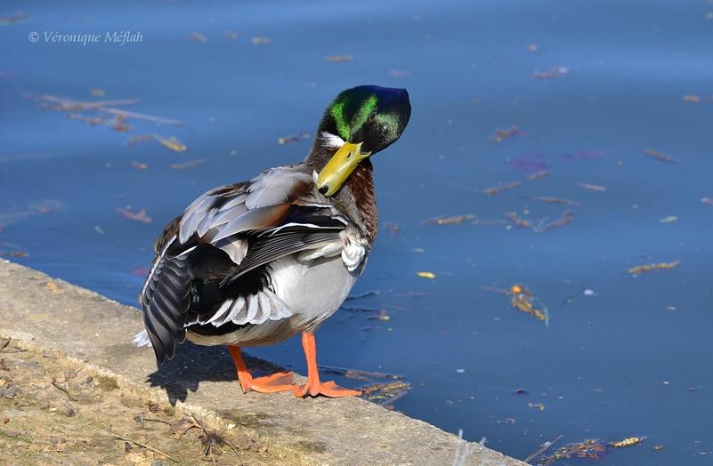 Bois de Vincennes : Lac des Minimes : La toilette de Monsieur Colvert