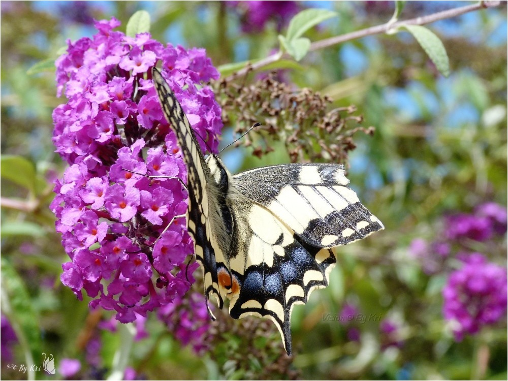 Le Machaon ou Grand porte-queue (Papilio machaon) ...