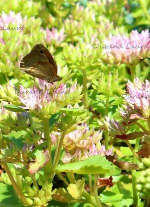Sedum Spurium en fleur butiné par un Myrtil