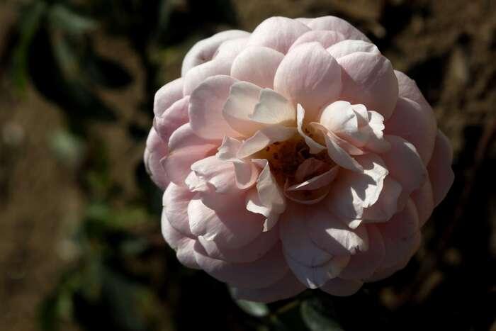 Les Roses de Warren : Isabelle et le Magicien d'Oz