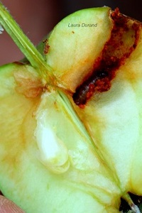 Carpocapse ou Ver de Pomme