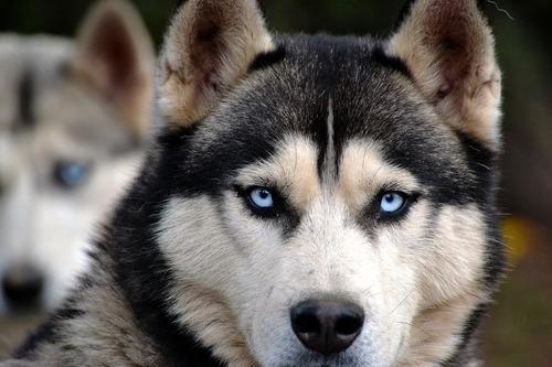 Pourquoi les huskies ont les yeux bleus ?