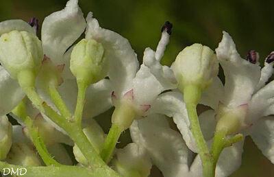 Sambucus ebulus - sureau yèble