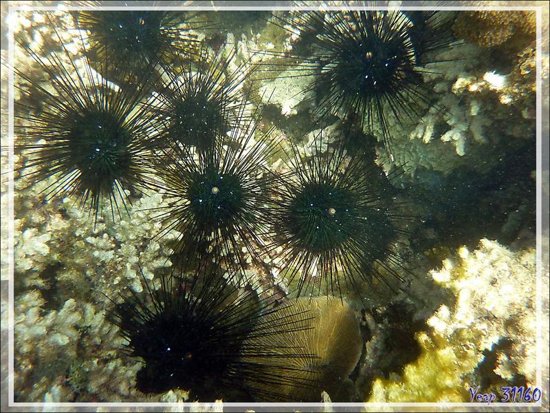 Un peu de snorkeling décevant à Nosy Tanikely : Oursin-diadème de l'Indo-Pacifique ou Oursin-diadème à anneau orange (Diadema setosum) - Madagascar