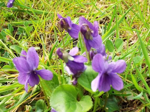 Secret de violettes...