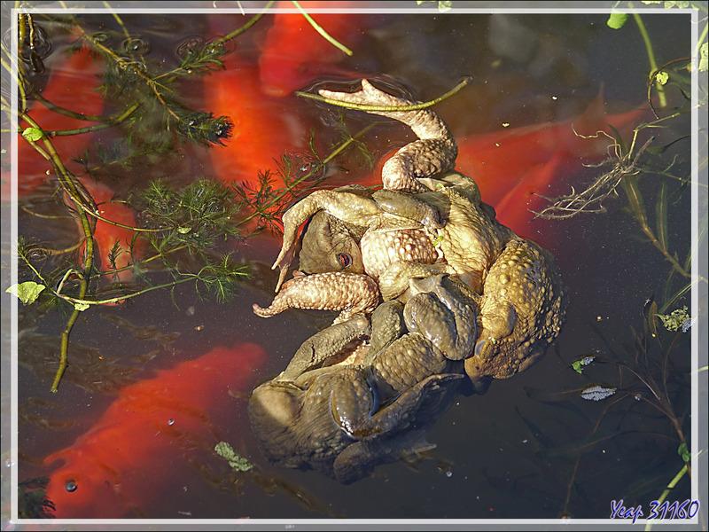 Parties de papattes en l'air chez les Crapauds communs (Bufo bufo) - Lartigau - Milhas - 31