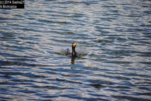Il ne fait pas parti de la serre mais s'invite tout de même au goûter. Un seul but au jeux le grand cormoran ne doit rien manger !