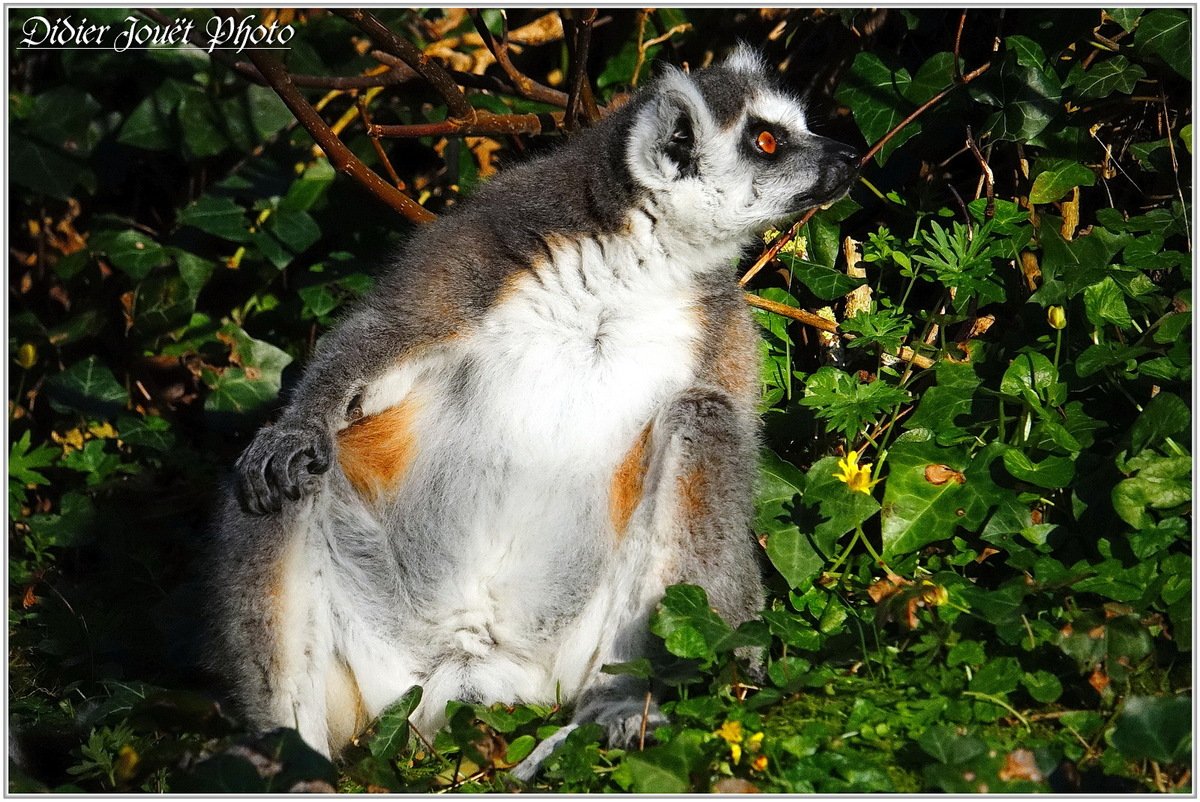 Maki Catta (1) - Lemur catta