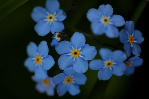 Association tulipe-myosotis
