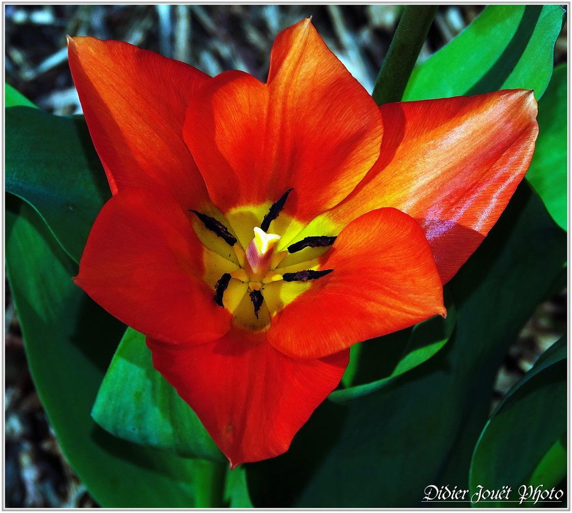Tulipe (1) - Tulipa