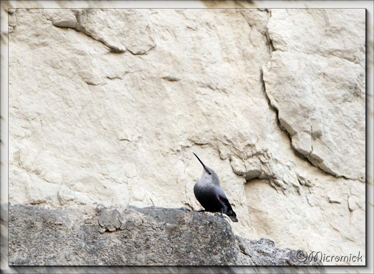 Le tichodrome échelette (Tichodroma muraria - Wallcreeper)