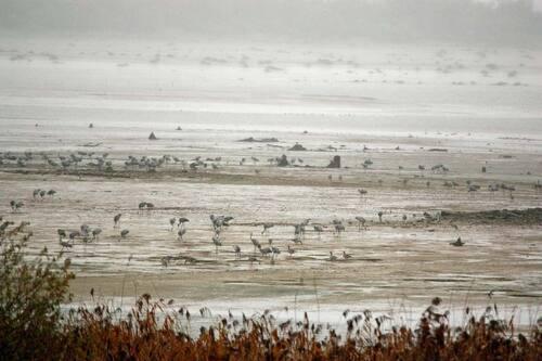 Weekend d'observation des grues cendrées au lac du Der (2017)