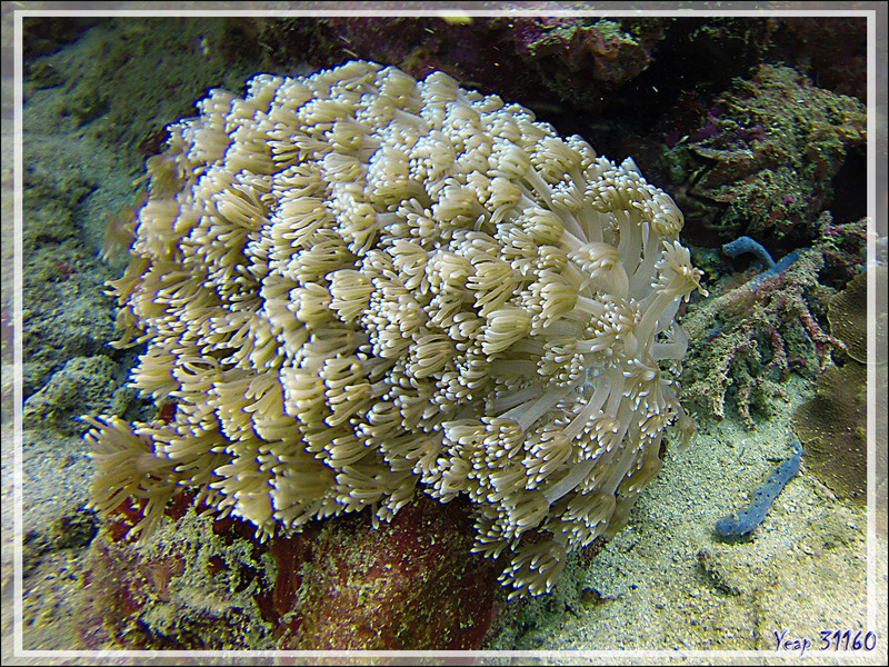 Poritidae Goniopora vert, Corail Anémone, Ball coral, Green flowerpot coral, Daisy coral (Goniopora sp. possible stokesi) - Nosy Mitsio - Madagascar