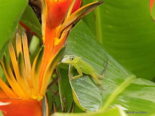 Un petit anoli dans mes Heliconia Caribaea Balisier