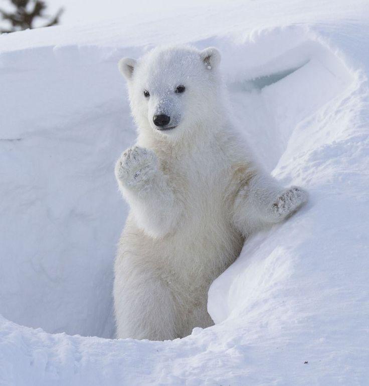 Bonjour Avec Les Animaux De L Antartique Duchesse 74
