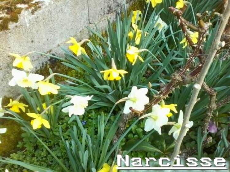 les premières fleurs dans mon jardin