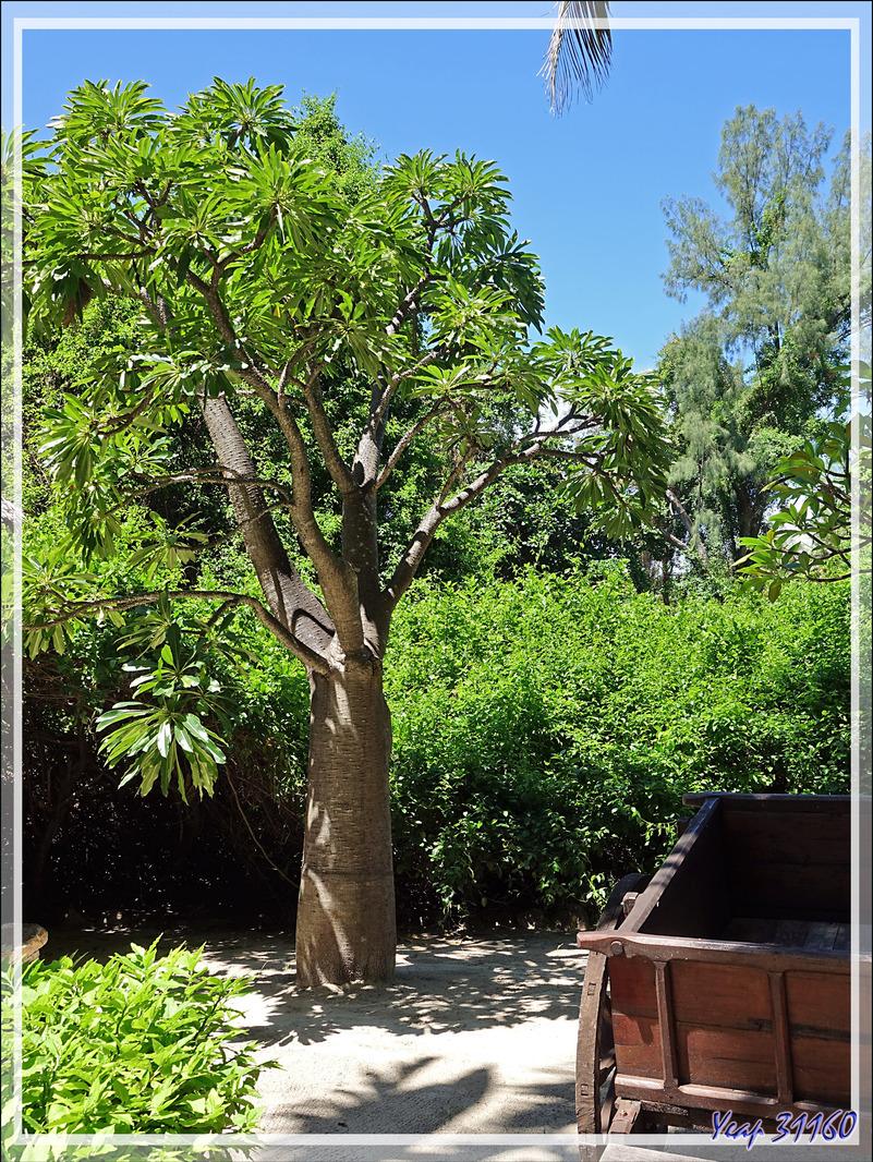 Jeune baobab - Nosy Tsarabanjina - Archipel Mitsio - Madagascar