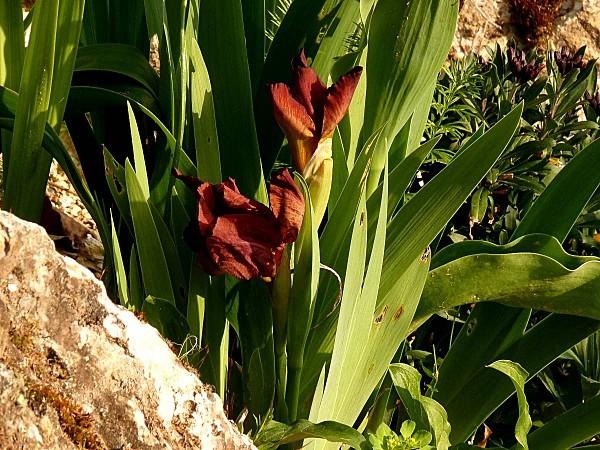 Iris Lilliput