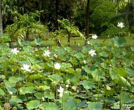Vue du jardin de Pamplemousses à l'île Maurice (photo. A. Malfoy)